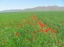 لالههاي بهار در مزارع گندم روستاي قارلق