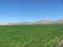 مزارع گندم روستاي قارلق در بهار