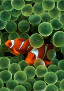 Clown Fish Wallpaper for Apple iPhone با ابعاد بسيار بزرگ